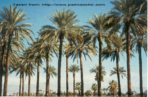 dates palm trees doom's day
